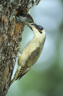 Green Woodpecker feeding - EK00377