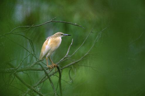 Squacco Heron perching on branch, close-up - EK00371