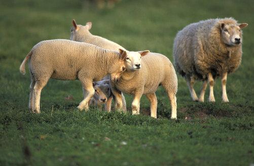 Texel sheep, Ovis ammon, Eastfrisian milksheep - 00246EK