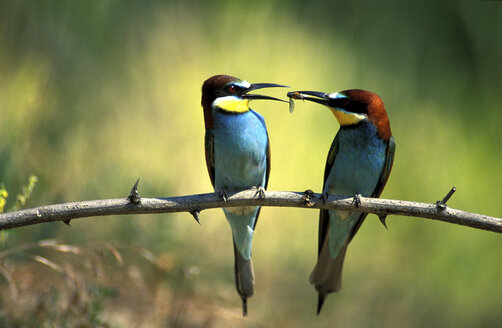 Male and female European bee eaters - 00185EK