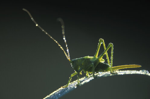 Great green bushcricket  in morning dew - 00153EK