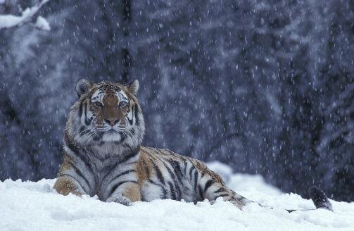 Eastsibirian tiger in the snow - 00144EK