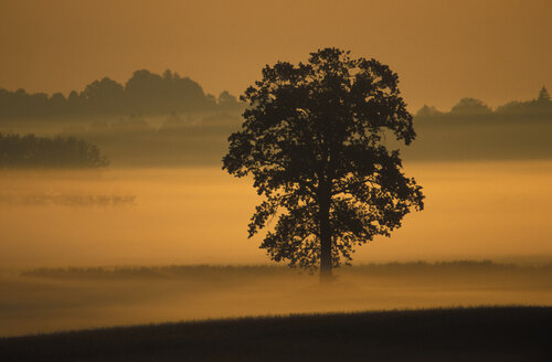 Silhouette of oak tree at dawn - 00113EK