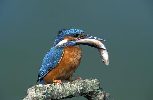Kingfisher with prey - 00007EK