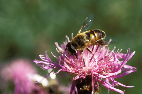 Bee on a flower - MB00167
