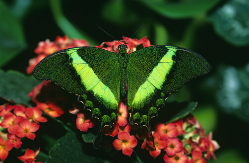 Emerald Swallowtail, Papilio palinurus - EK00488