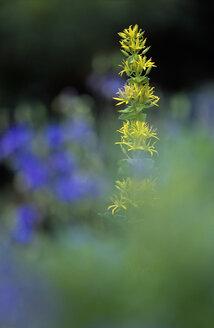 Yellow gentian, Gentiana lutea - EK00454