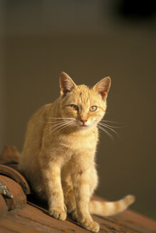 Ginger tabby cat, close-up - EK00381