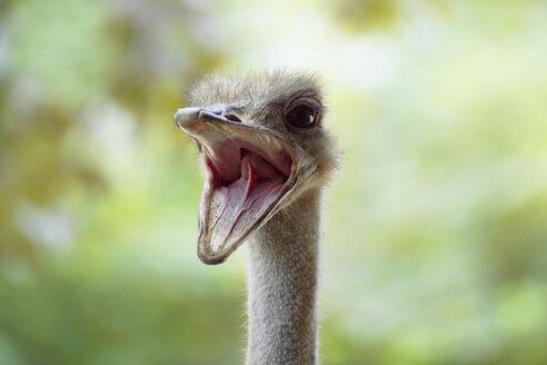 Ostrich, close-up - 00621CS-U