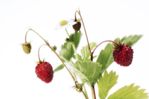 Woodstrawberries, (Fragaria vesca) - 00580CS-U