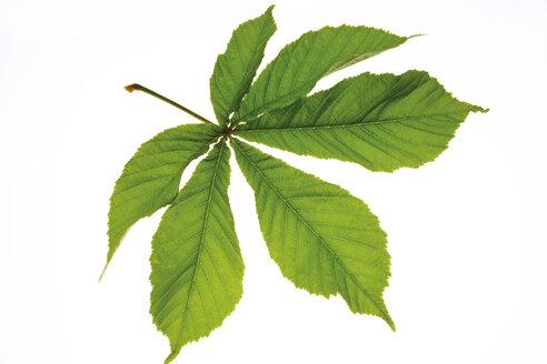 Chestnut leaf (Aesculus hippocastanum), close-up - 00420CS-U