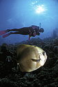 Diver and batfish - GN00567