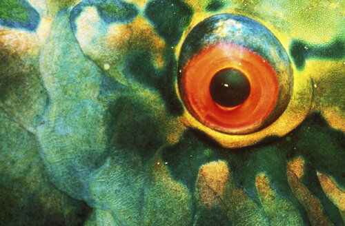 Parrotfish, close-up - GN00520