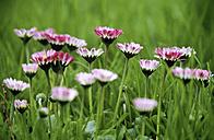 Daisy flowers field - EK00350
