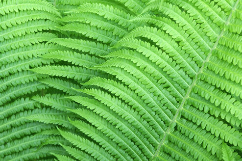 Ferns, full frame - HHF00110
