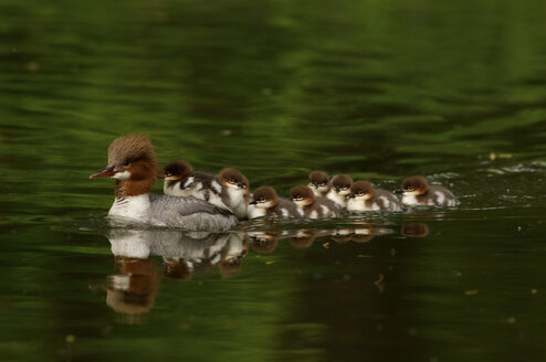 Duck and ducklings in a row - EKF00583