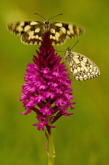 Two chessboard butterflies sitting on orchis - EKF00549