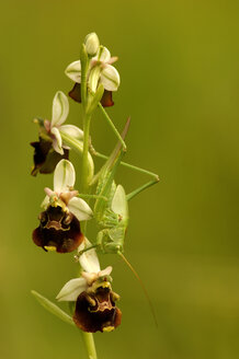 Grasshopper sitting on bee orchis - EKF00546