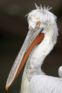 Dalmatian pelican, close-up - EK00513