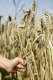 Child picking ear of wheat - CKF00118