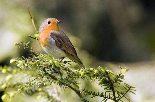 Robin perched on branch (Erithacus rubecula) - EKF00540