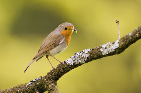 Robin perched on branch (Erithacus rubecula) - EKF00534