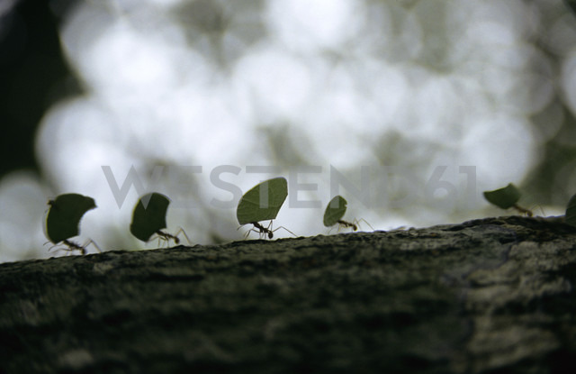 Ants carrying leaves on bark - PE00381