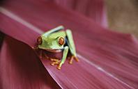 Frog sitting on a leaf, Costa Rica - PE00378
