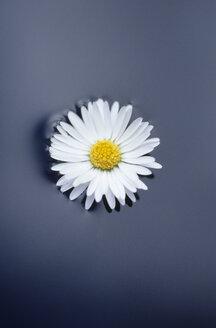 Daisy - CRF00736