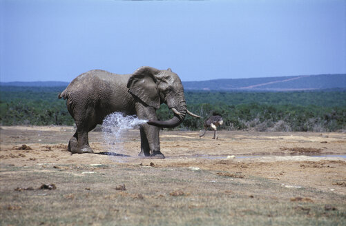Elephant and ostrich at water whole - THF00094