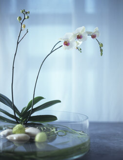 Orchids in glass bowl - HOEF00023