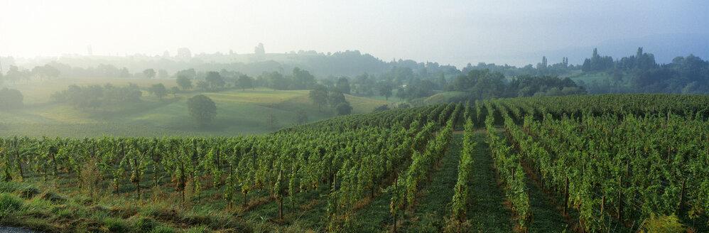 Vineyard, Germany - SH00087