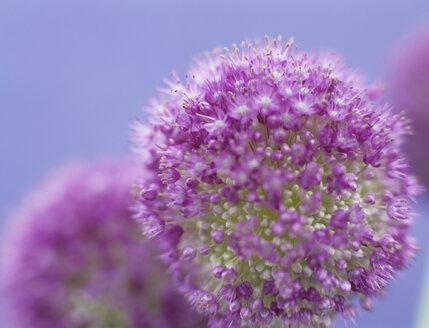 Onion flower (allium giganteum) - HOEF00170