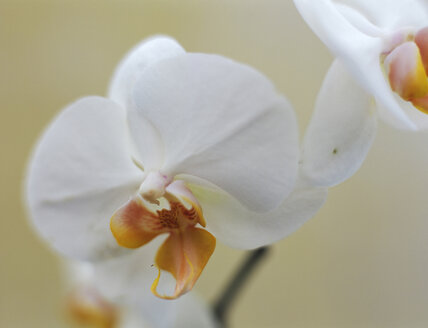 White orchid, close-up - HOEF00167