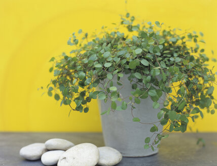 Soleirolia in pot with pebbles - HOEF00144