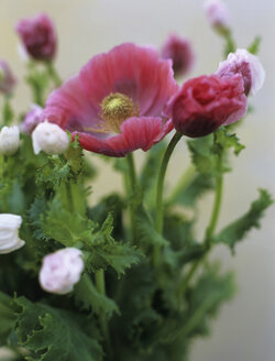 Turkish poppy, close-up - HOEF00132