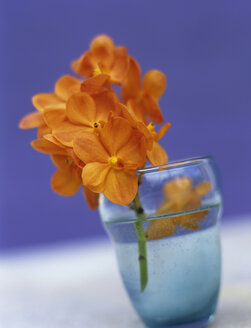 Orange orchids - HOEF00089