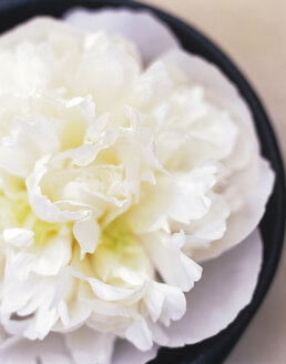 White carnation, close-up, elevated view - HOEF00086