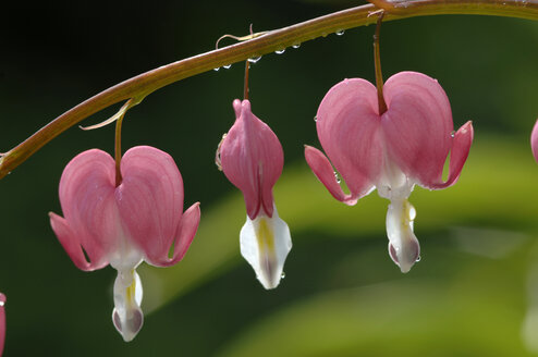 Bleeding heart, close-up - CRF00934