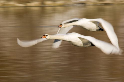 Flying mute swans - EKF00723