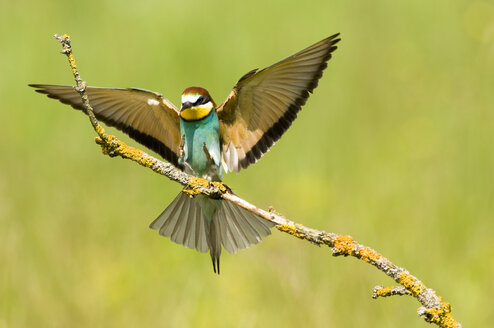Bee-eater landing on branch - EKF00720