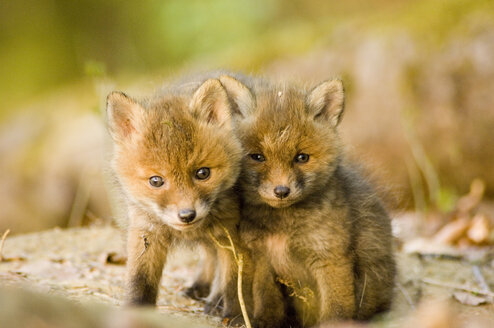 Red fox whelps in forest - EKF00708