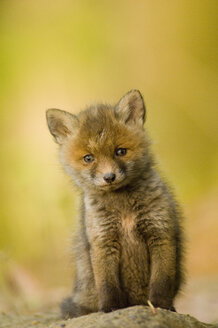 Red fox whelp - EKF00705