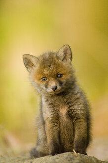 Red fox whelp - EKF00705