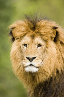 Lion, close-up - EKF00702