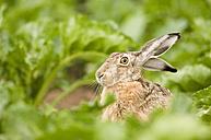 Hare in field - EKF00657