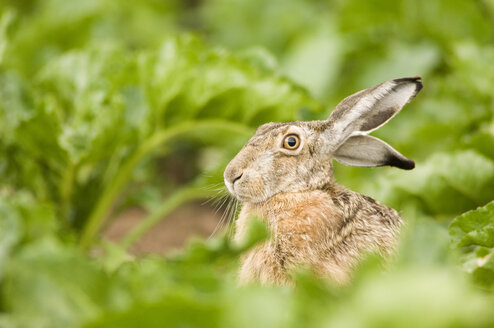 Hare in field - EKF00657