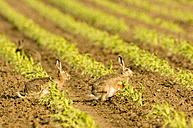 Hares in field - EKF00654