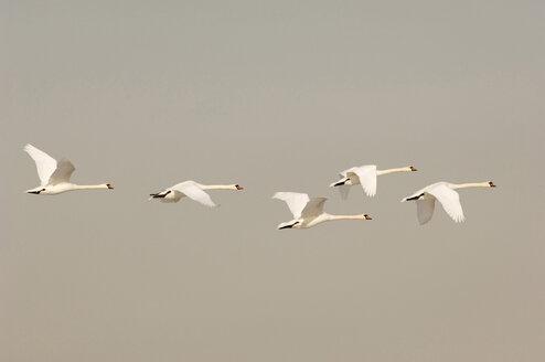 Flying mute swans - EKF00621