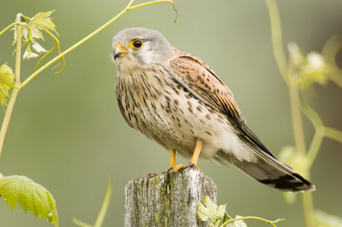 Kestrel perching on wood stump - EKF00618